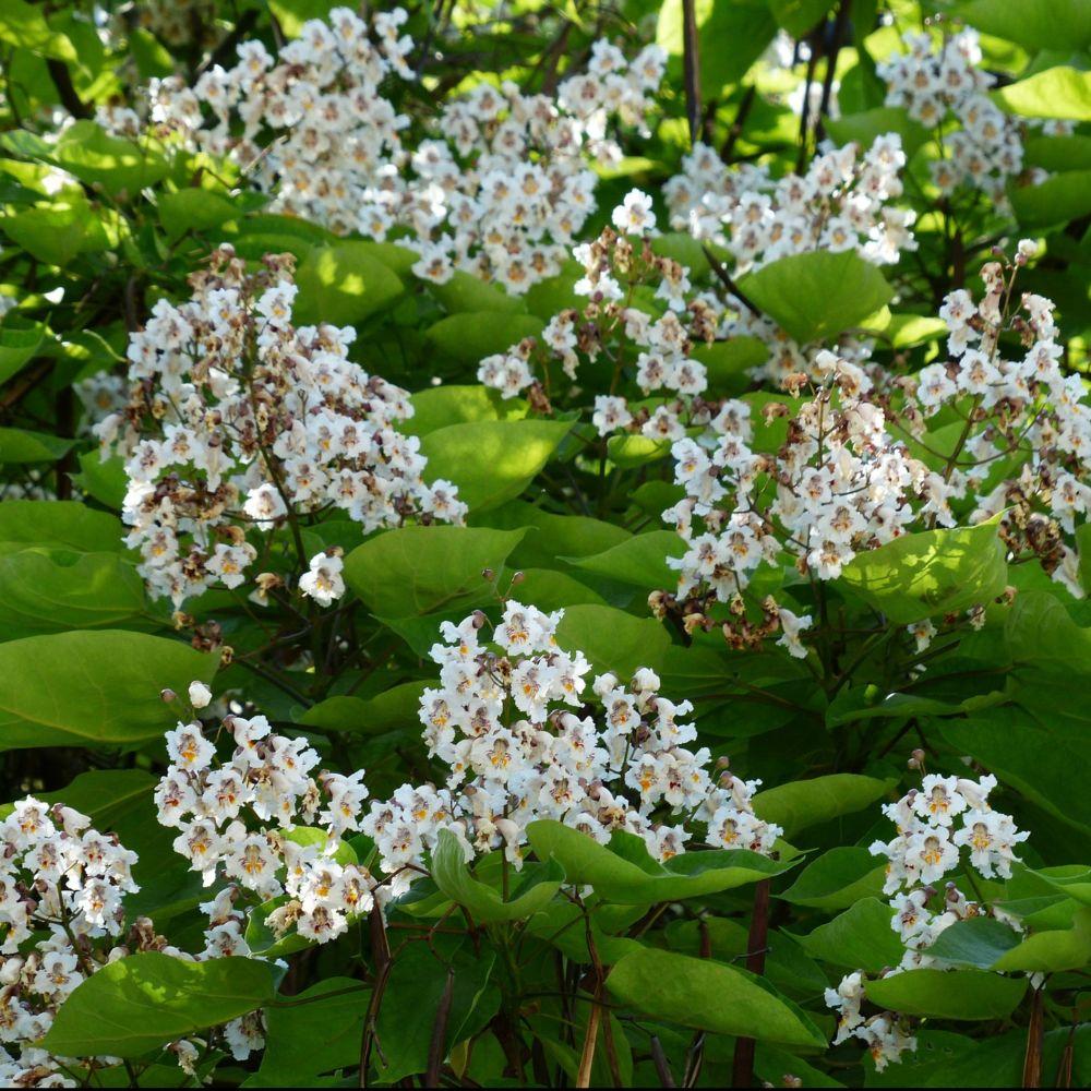 Catalpa bignonio des plantes et jardins for Plantes et jardins adresse