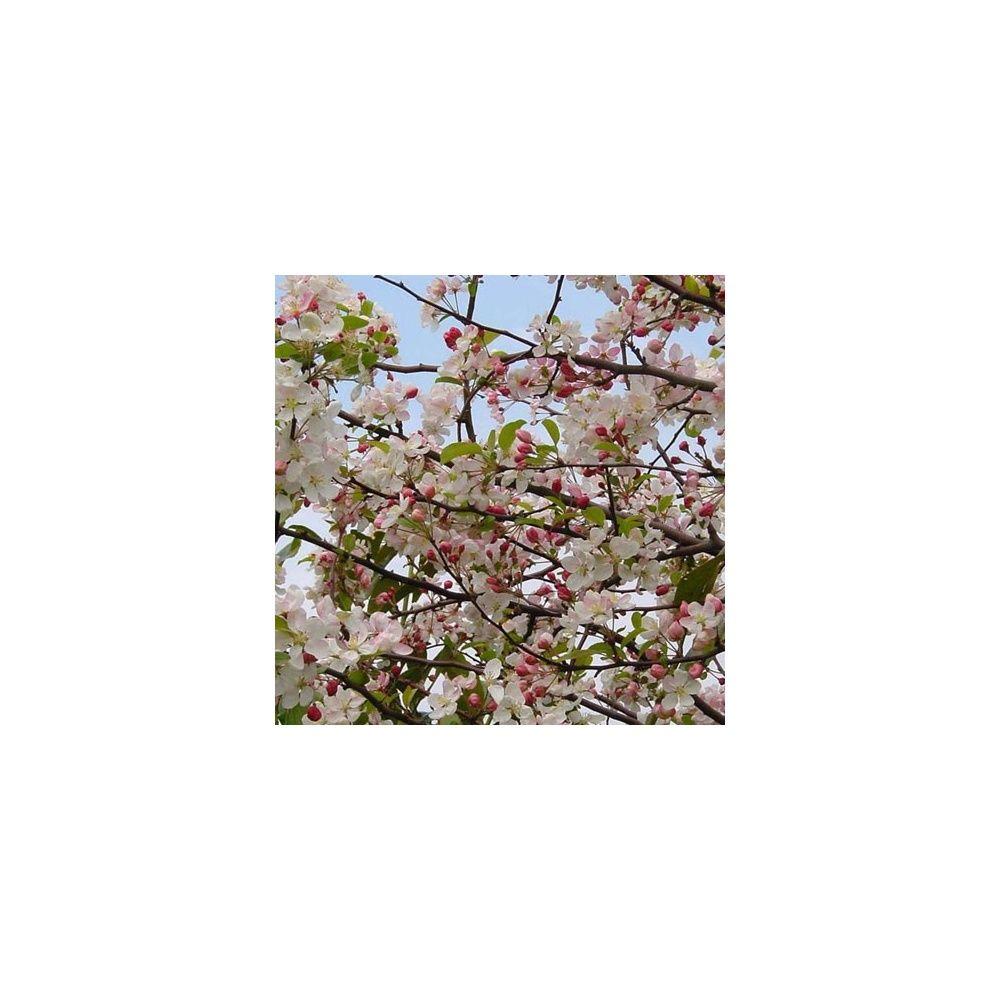 Pommier d 39 ornement 39 everest 39 plantes et jardins for Plantes ornement jardin