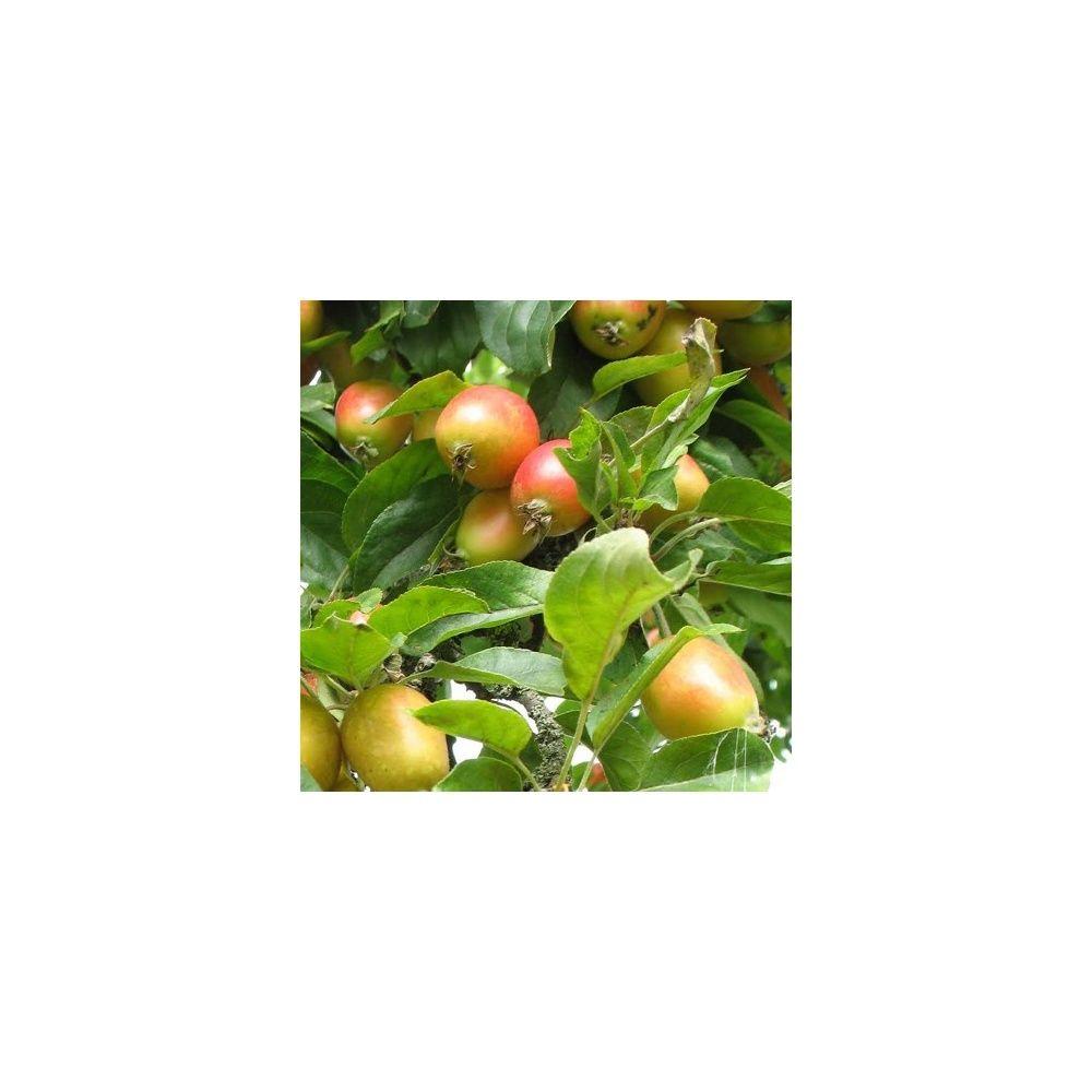 Pommier d 39 ornement 39 john downie 39 plantes et jardins for Plantes ornement jardin