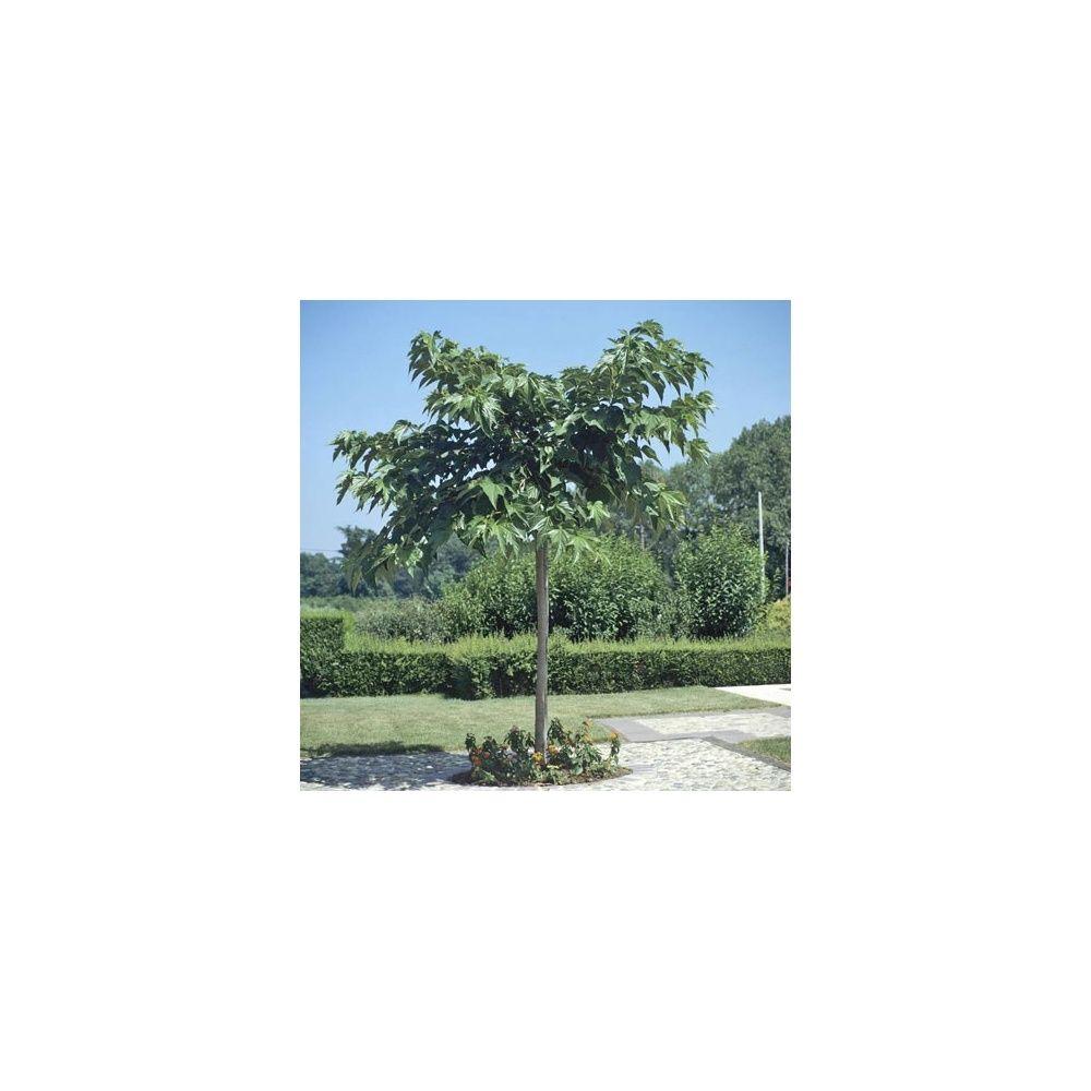 m rier platane 39 st rile 39 plantes et jardins. Black Bedroom Furniture Sets. Home Design Ideas