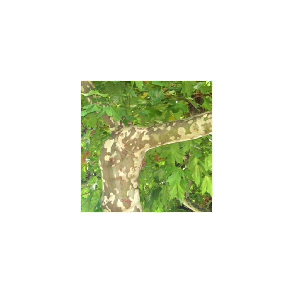 Platane feuilles d 39 rable plantes et jardins for Plante 5 feuilles