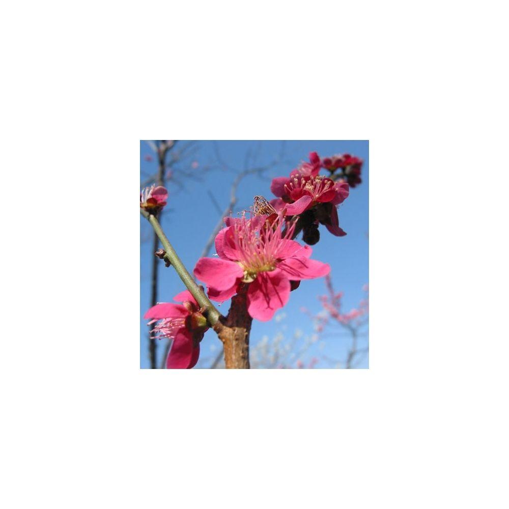 Abricotier du japon fleurs plantes et jardins for Fleurs plantes et jardins