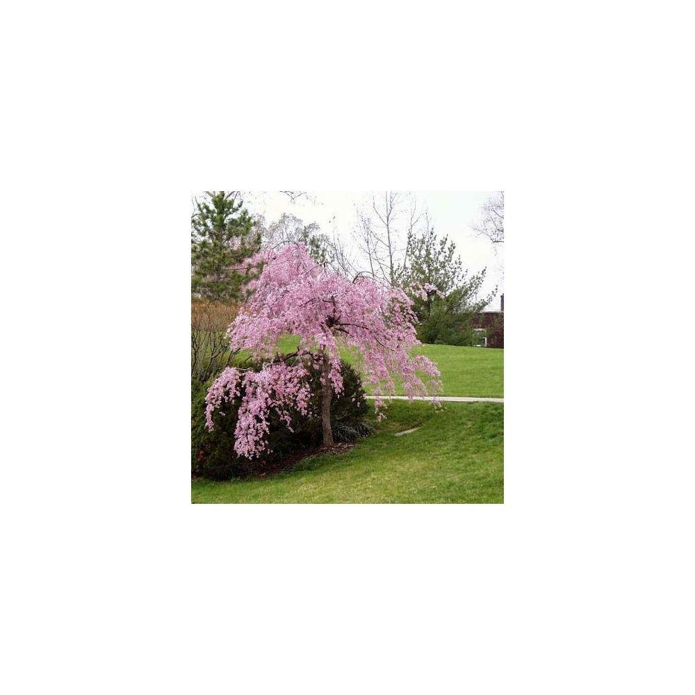Cerisier fleurs pleureur plantes et jardins for Fleurs plantes et jardins