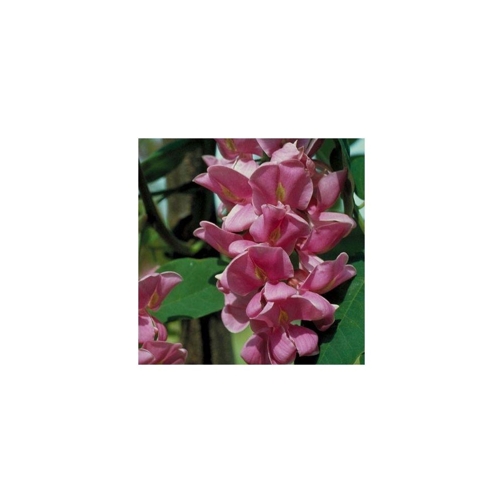 Robinier faux-acacia \'Casque Rouge\' - Plantes et Jardins