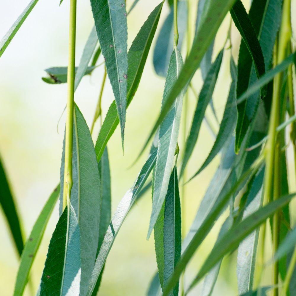 Saule pleureur plantes et jardins for Plante et jardins