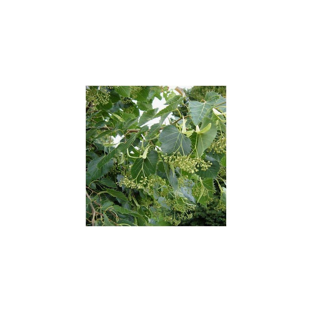 Tilleul henryana plantes et jardins for Plante et jardin catalogue