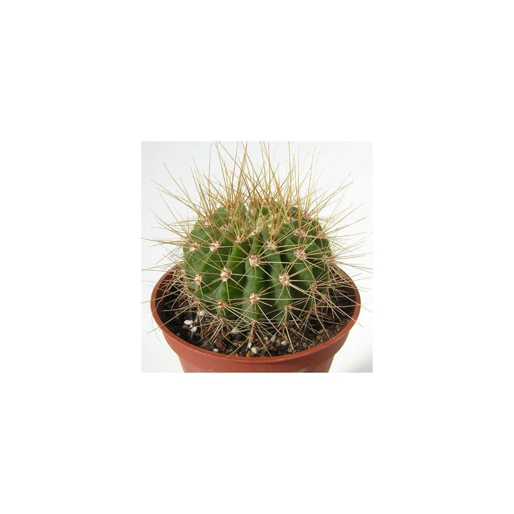 Acanthocalycium spiniflorum violaceum plantes et jardins for Jardin et plantes