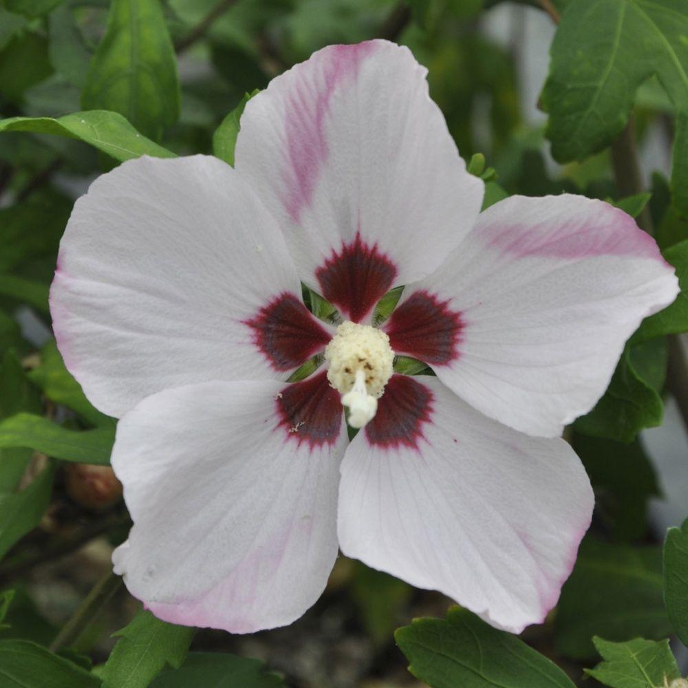 hibiscus syriacus 39 hamabo 39 plantes et jardins. Black Bedroom Furniture Sets. Home Design Ideas