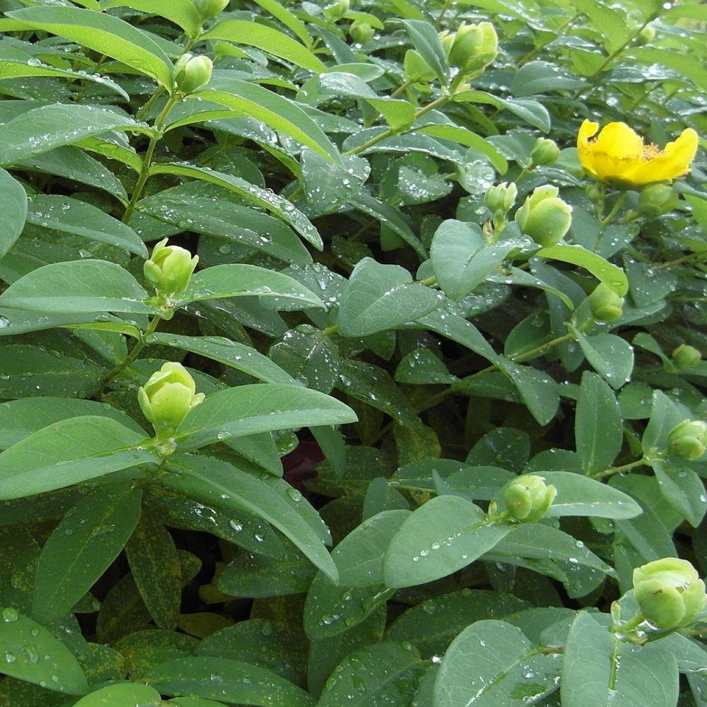 Millepertuis 39 hidcote 39 plantes et jardins for Plante et jardin catalogue