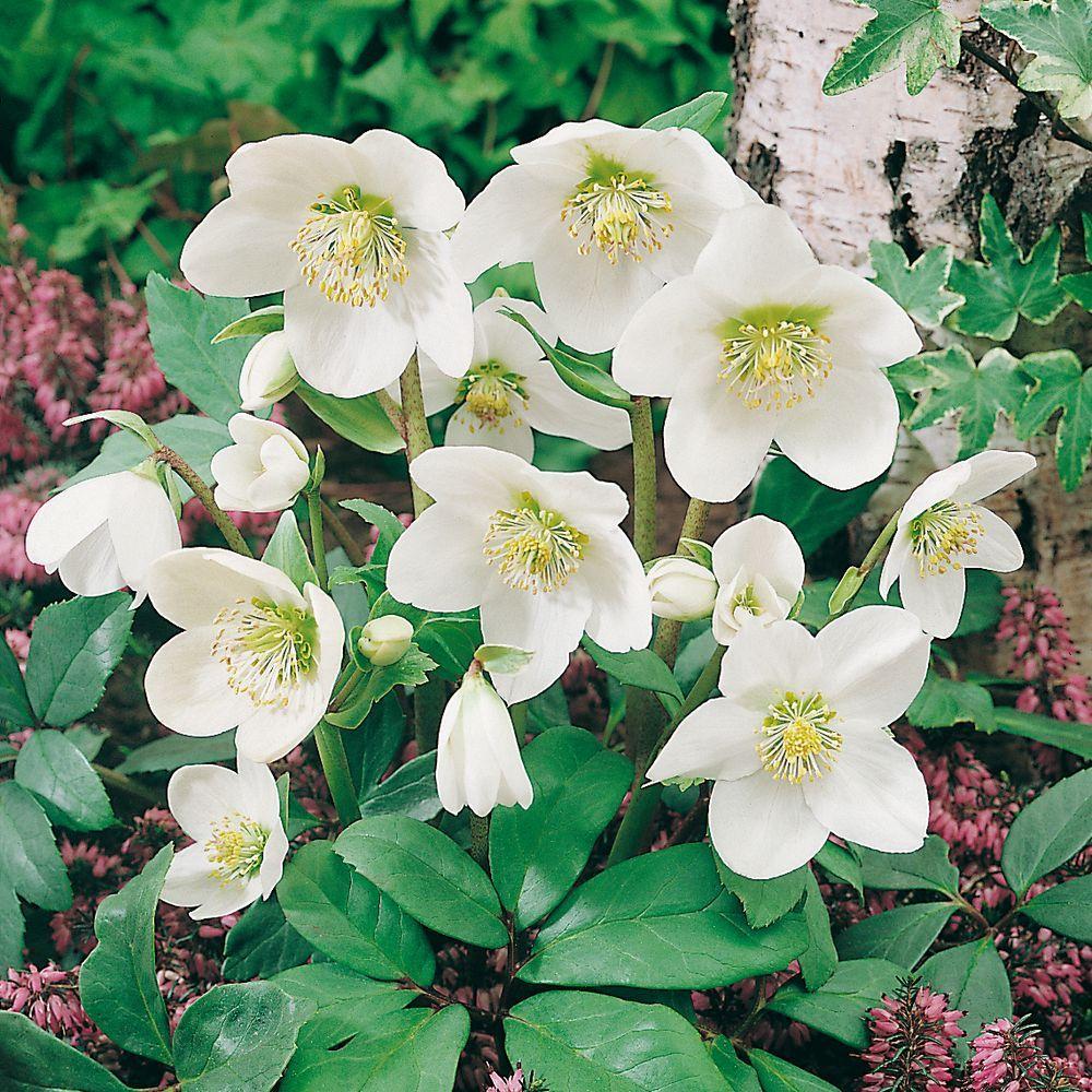 Helleborus niger plantes et jardins for Plante de noel
