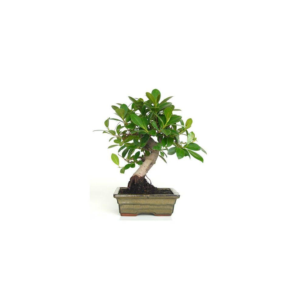 bonsa d 39 int rieur ficus panda 8 ans plantes et jardins. Black Bedroom Furniture Sets. Home Design Ideas