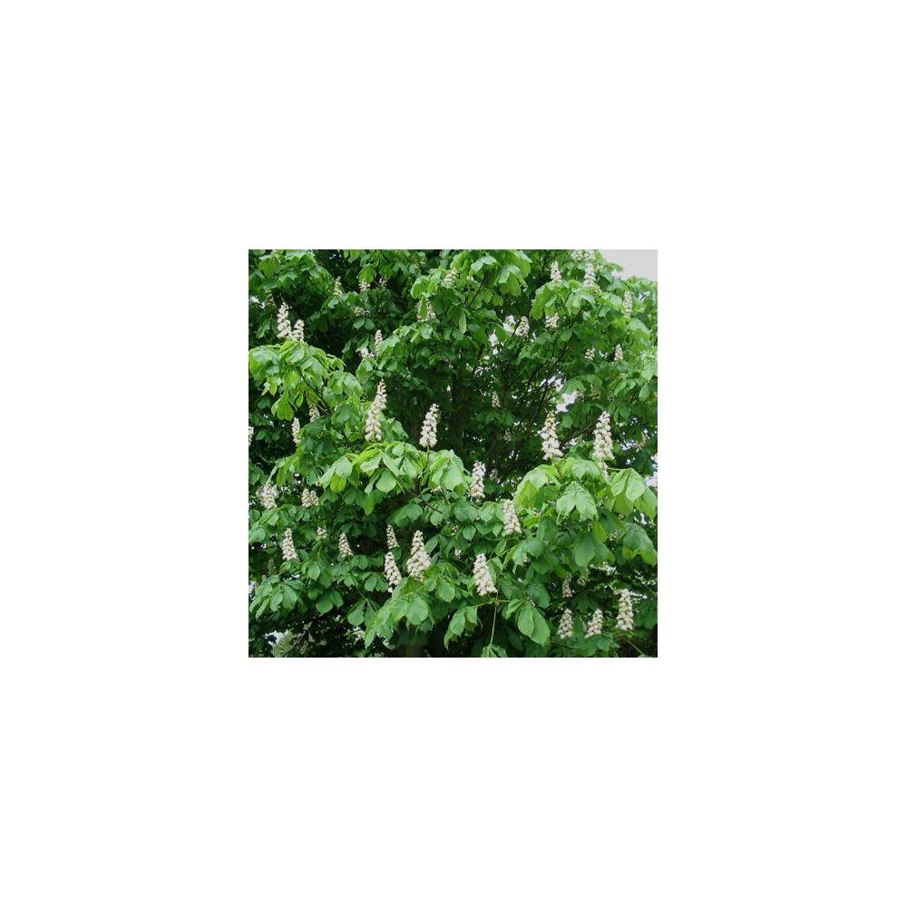Marronnier d 39 inde plantes et jardins - Plante et jardins ...