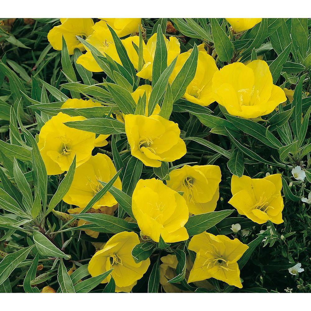 Oenothera missouriensis plantes et jardins - Encyclopedie des fleurs et plantes de jardin ...