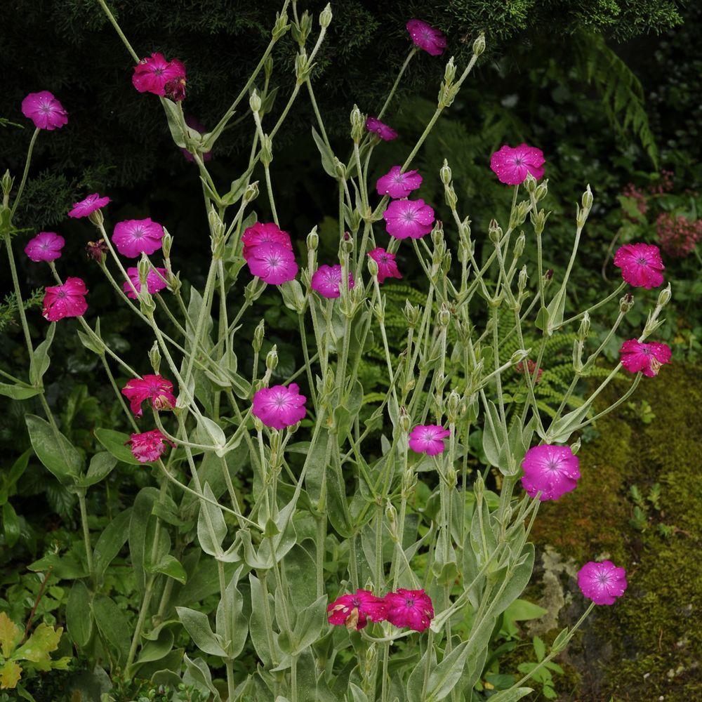 Lychnis coronaria plantes et jardins - Coquelourde des jardins lychnis coronaria ...