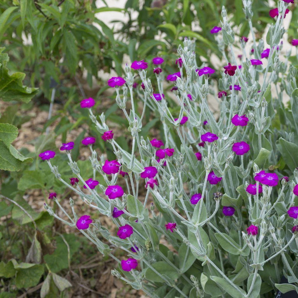 Lychnis coronaria plantes et jardins for Plantes et jardins