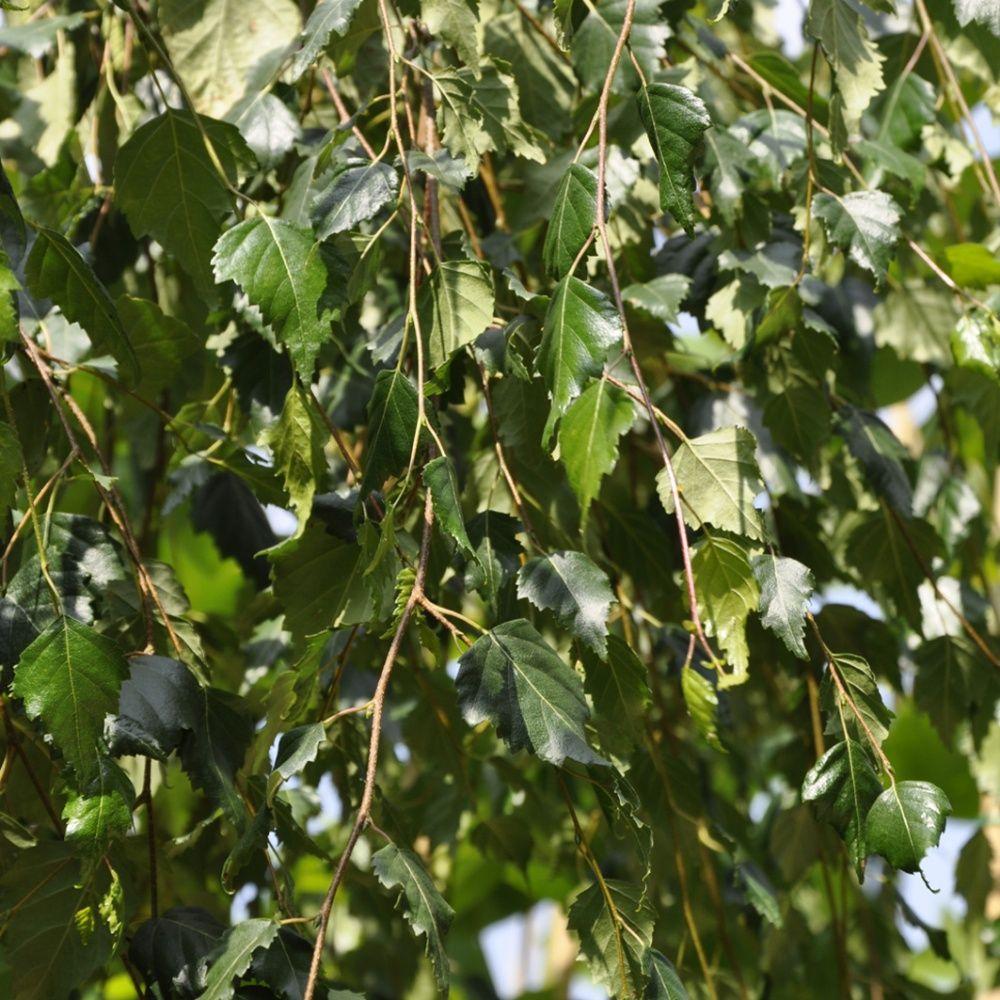 Bouleau verruqueux 39 youngii 39 plantes et jardins for Plante 150 maladies madagascar