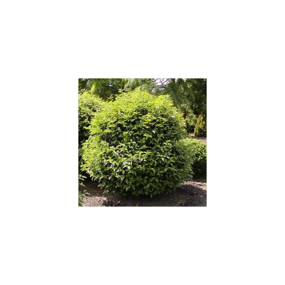 laurier palme 39 rotundifolia 39 plantes et jardins. Black Bedroom Furniture Sets. Home Design Ideas