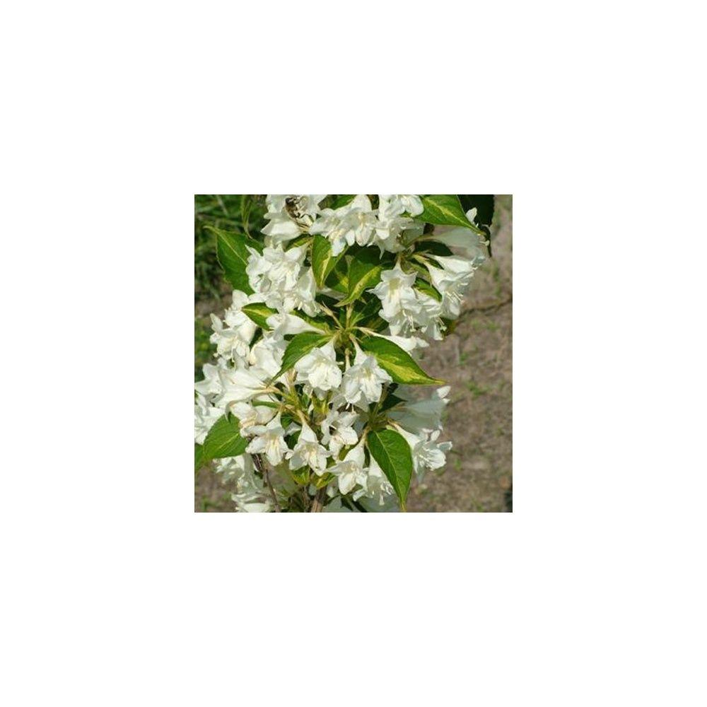 Weigelia 39 milk and honey 39 plantes et jardins for Plantes et jardins