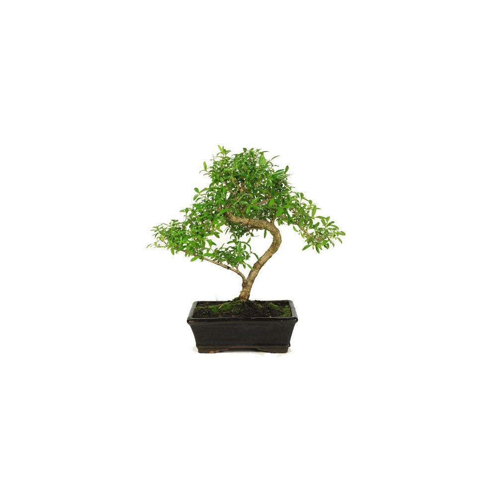 bonsa 239 d int 233 rieur serissa 8 ans plantes et jardins