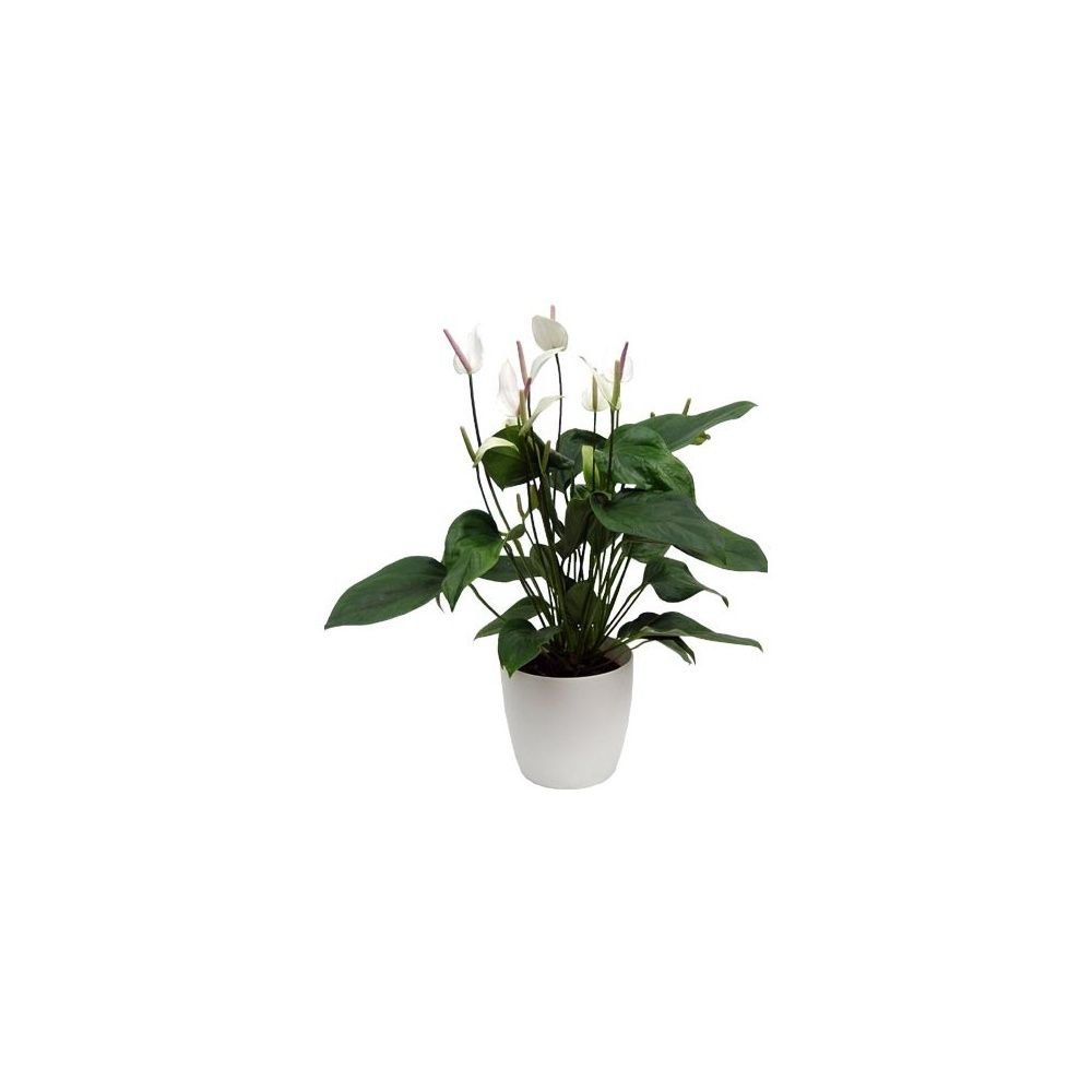 anthurium 39 polaris 39 cache pot blanc plantes et jardins. Black Bedroom Furniture Sets. Home Design Ideas