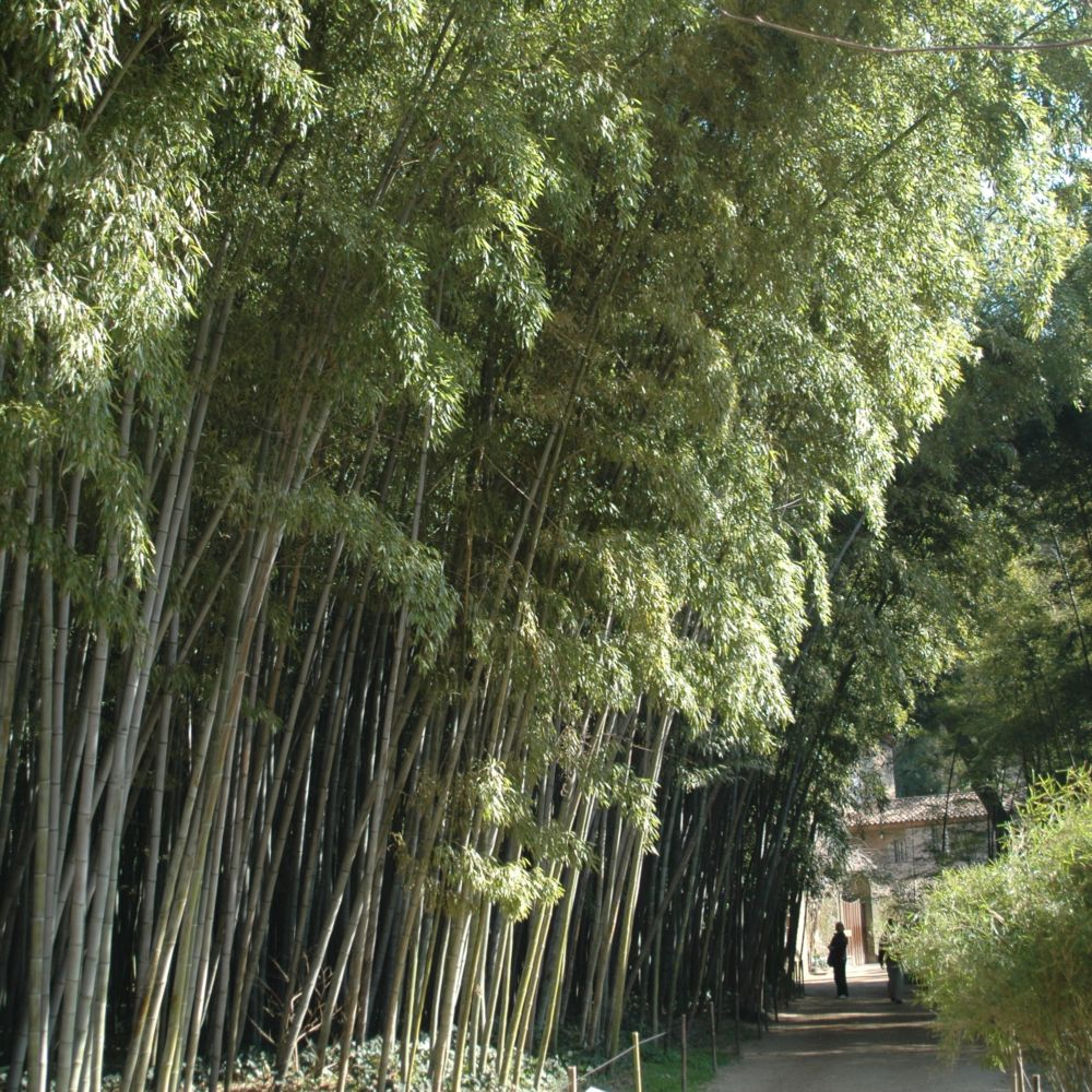 Bambou g ant phyllostachys nigra 39 boryana 39 plantes et - Planter bambou ...