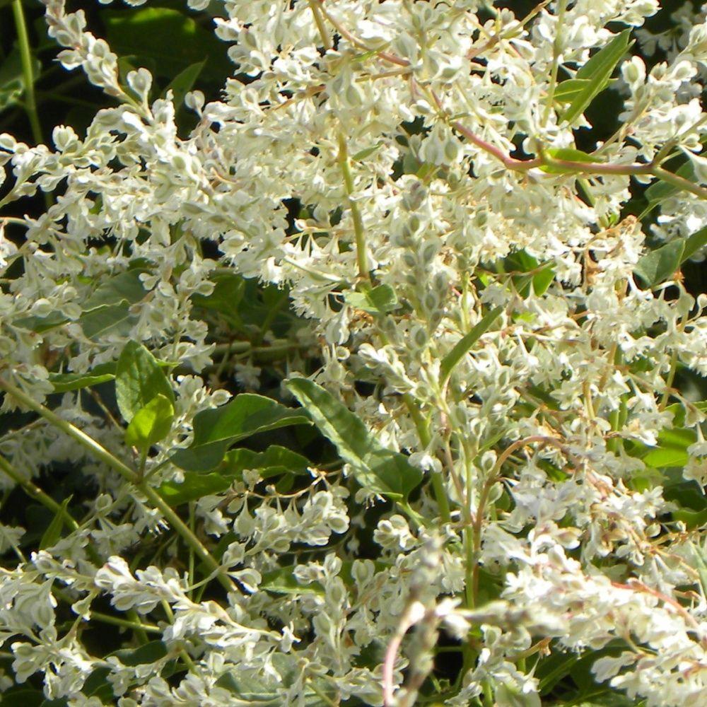 Renou e aubertii plantes et jardins for Achat plante jardin