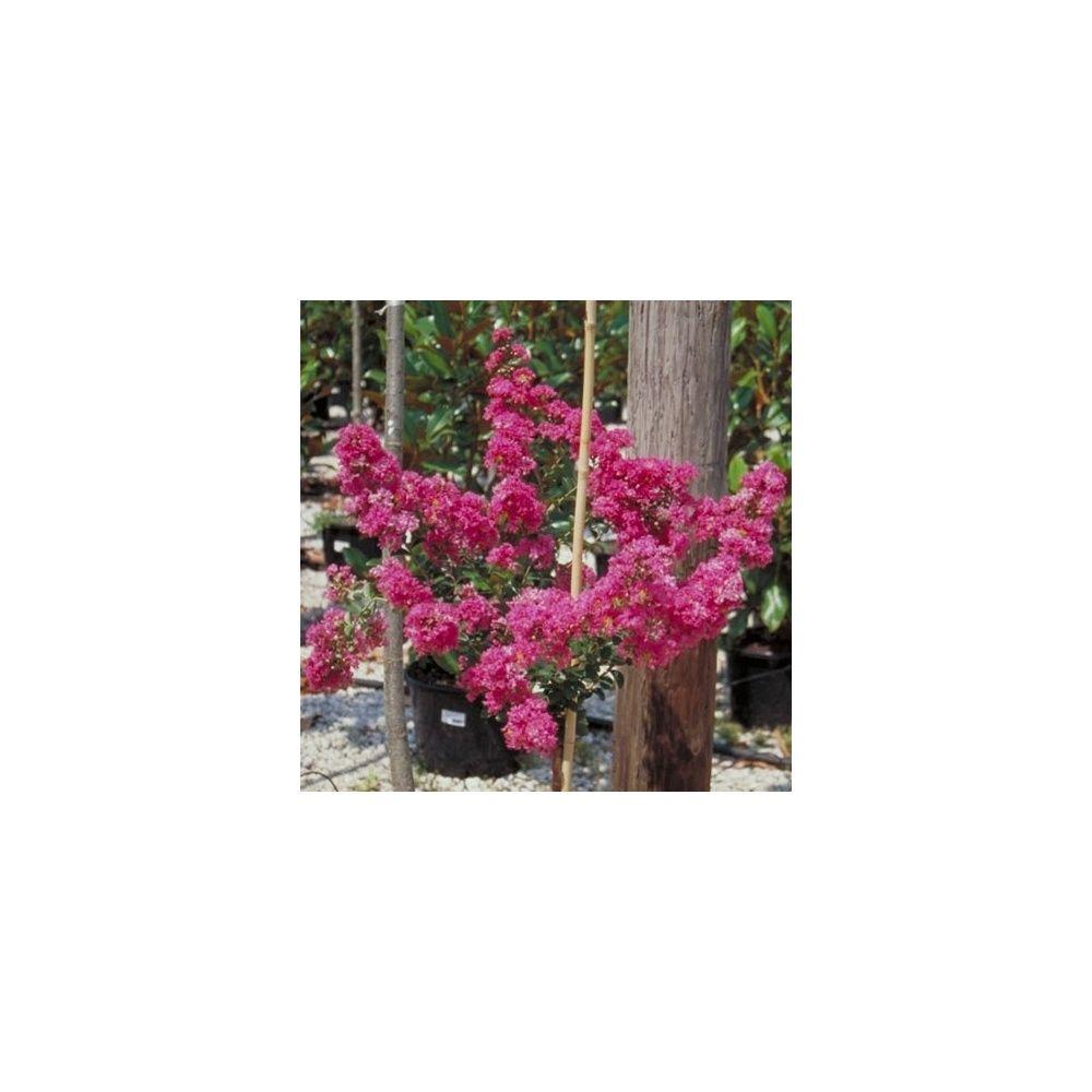 Lagerstroemia 39 petit canaille 39 rose plantes et jardins for Plantes et jardins