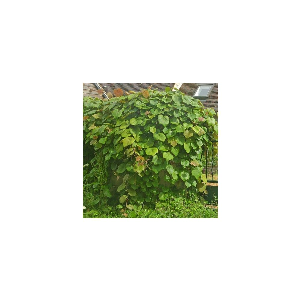 Vigne d 39 ornement plantes et jardins for Plantes ornement jardin