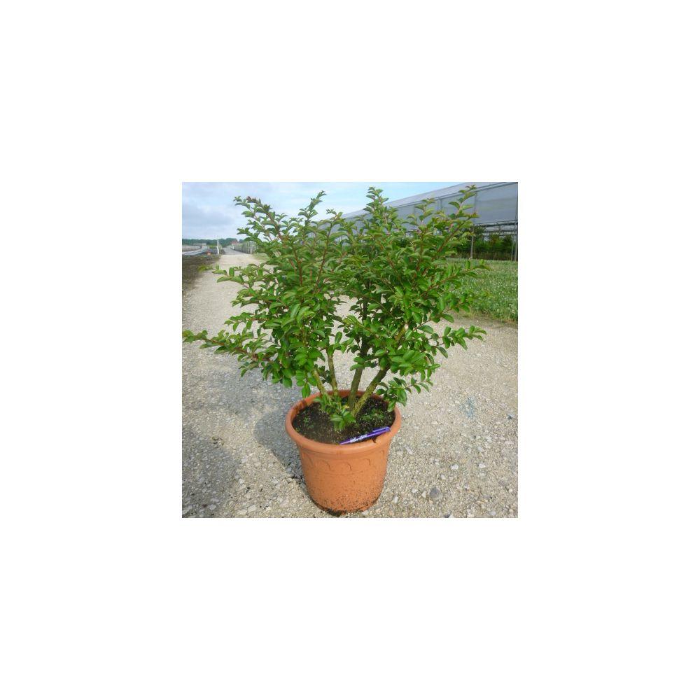 Lagerstroemia 39 bergerac 39 plantes et jardins for Plantes et jardins adresse