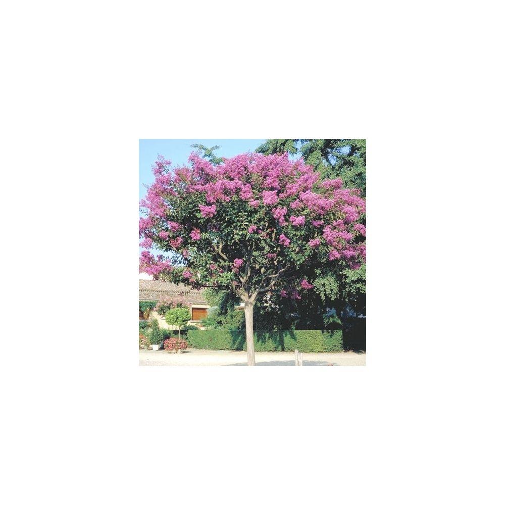 Lagerstroemia 39 la mousson 39 plantes et jardins for Plantes et jardins
