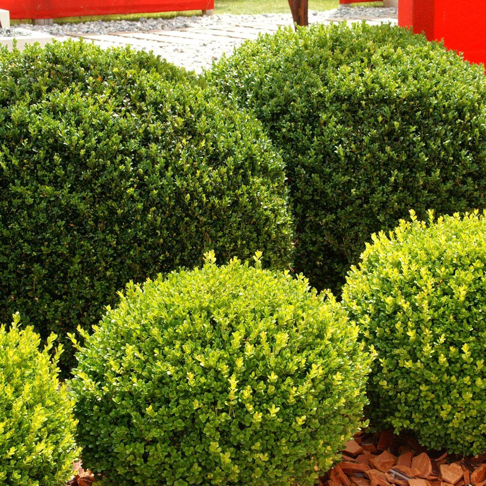 Buis commun en boule plantes et jardins for Boule de buis ikea