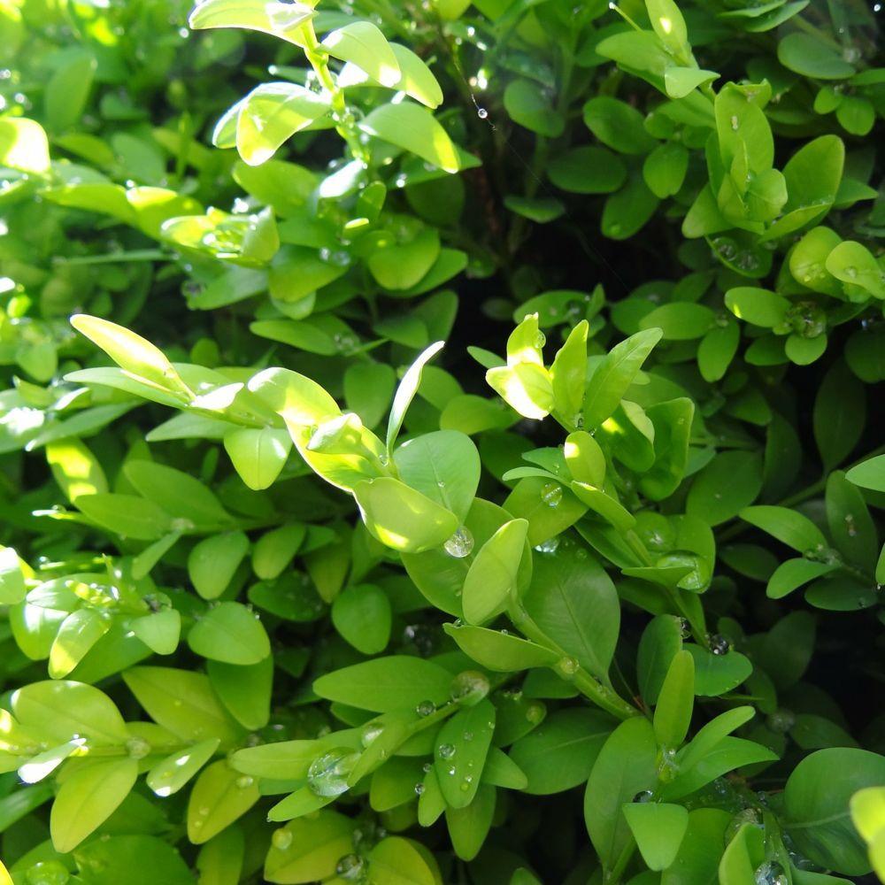 Buis commun en boule plantes et jardins - Plante et jardins ...
