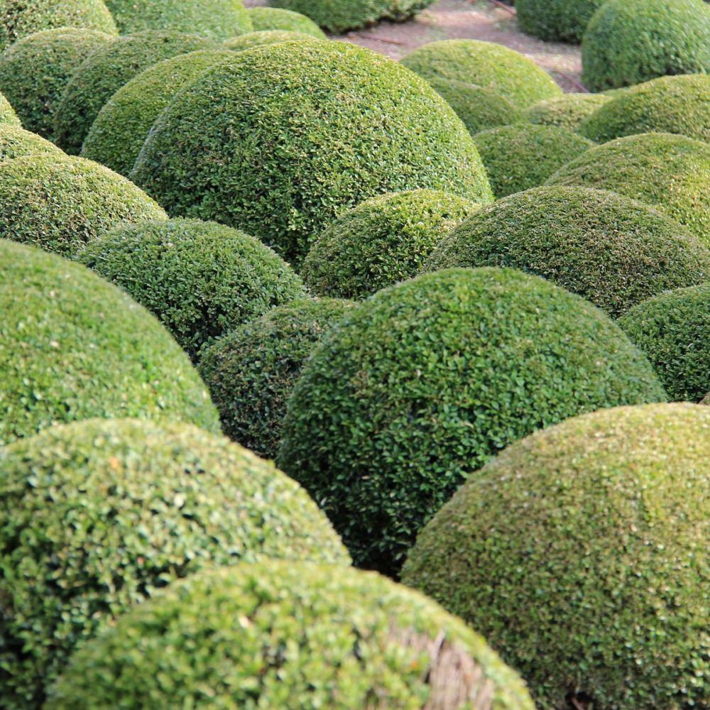 Buis commun en boule plantes et jardins for Plante et jardins