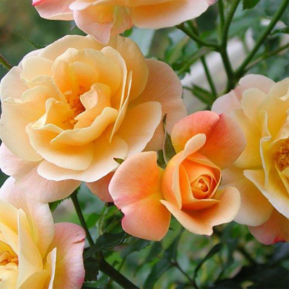 D corosier 39 calizia 39 plantes et jardins for Plantes et jardins adresse