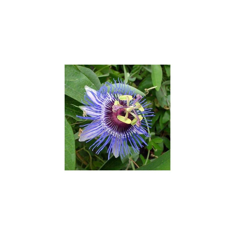 passiflore 39 purple rain 39 plantes et jardins. Black Bedroom Furniture Sets. Home Design Ideas