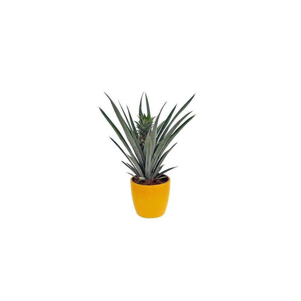 Ananas avec fruit cache pot abricot plantes et jardins - Planter un noyau d abricot ...