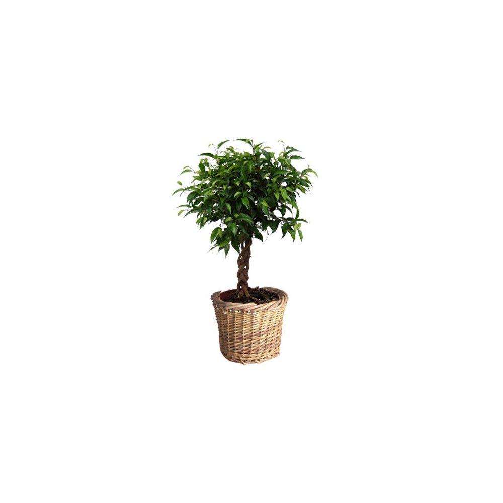 ficus natacha tronc tress cache pot plantes et jardins. Black Bedroom Furniture Sets. Home Design Ideas