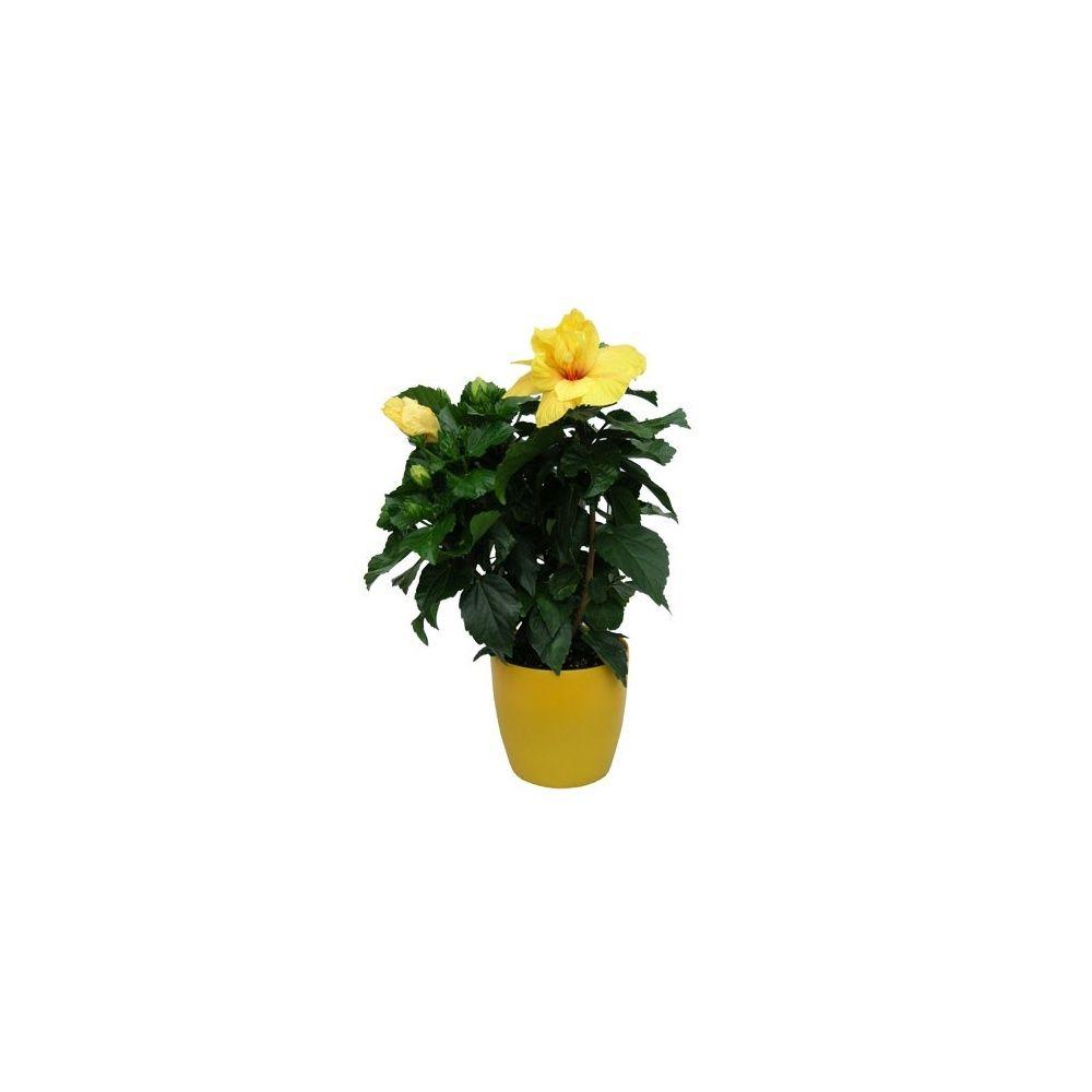 Hibiscus jaune hauteur 50 60cm cache pot abricot - Planter un noyau d abricot ...