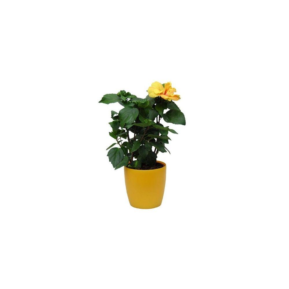 hibiscus jaune hauteur 50 60cm cache pot abricot livraison express plantes et jardins. Black Bedroom Furniture Sets. Home Design Ideas