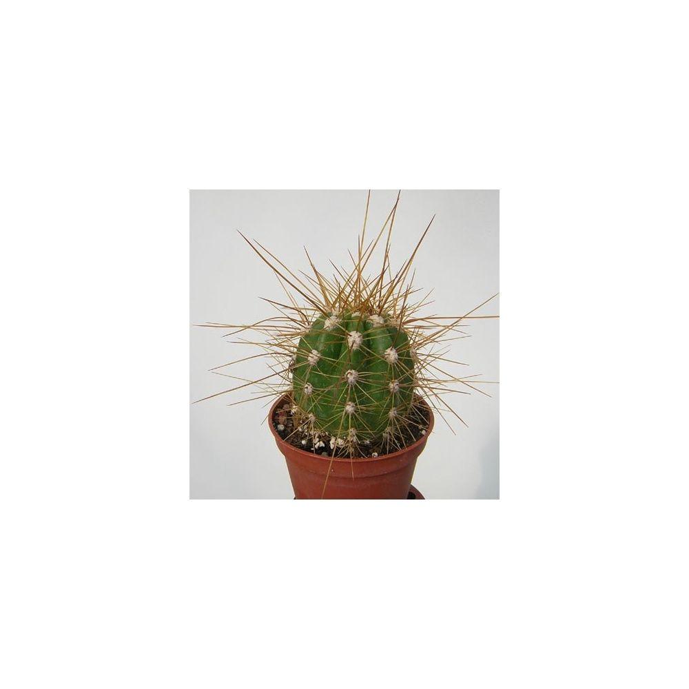 Echinopsis candicans plantes et jardins for Plante et jardin catalogue