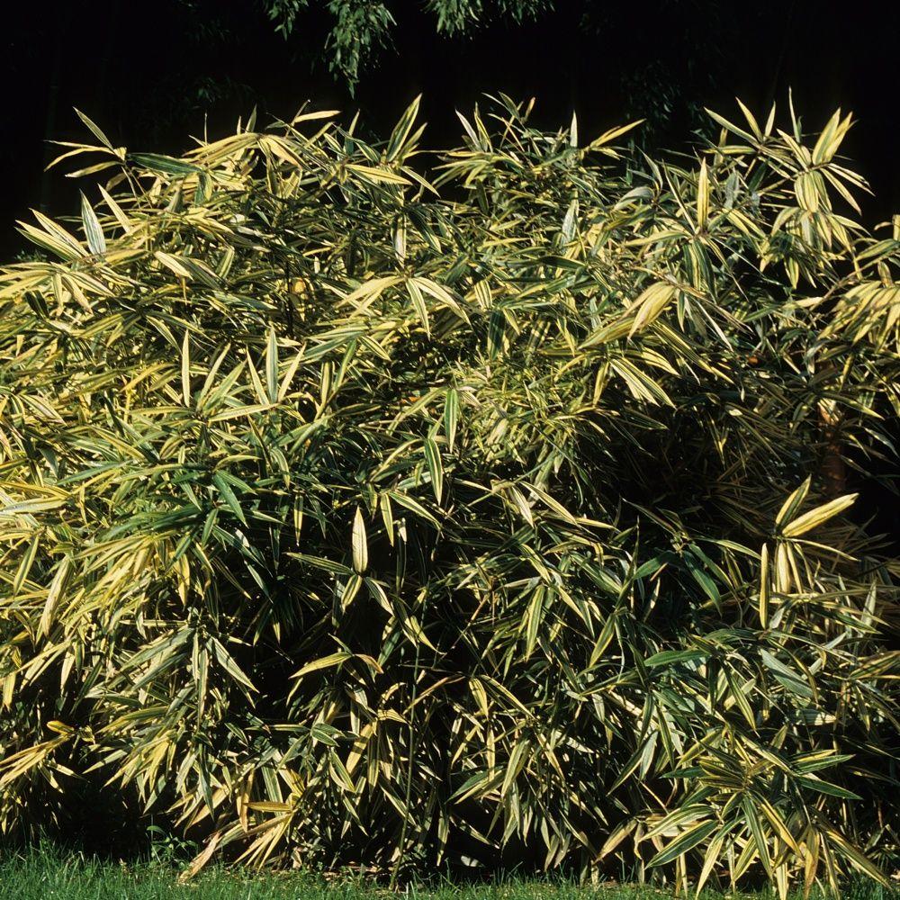 Petit bambou hibanobambusa tranquillans 39 shiroshima for Plantes et jardins