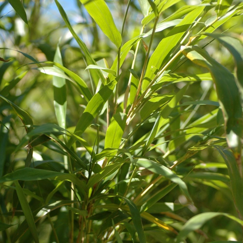 Bambou moyen semiarundinaria yashadake 39 kimmei for Plantes et jardins