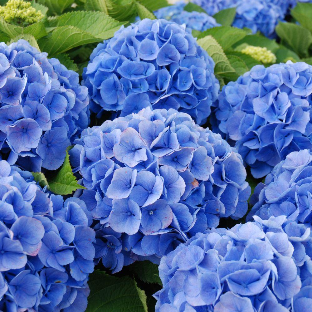 Hortensia 39 bodensee 39 plantes et jardins - Terre pour hortensia bleu ...