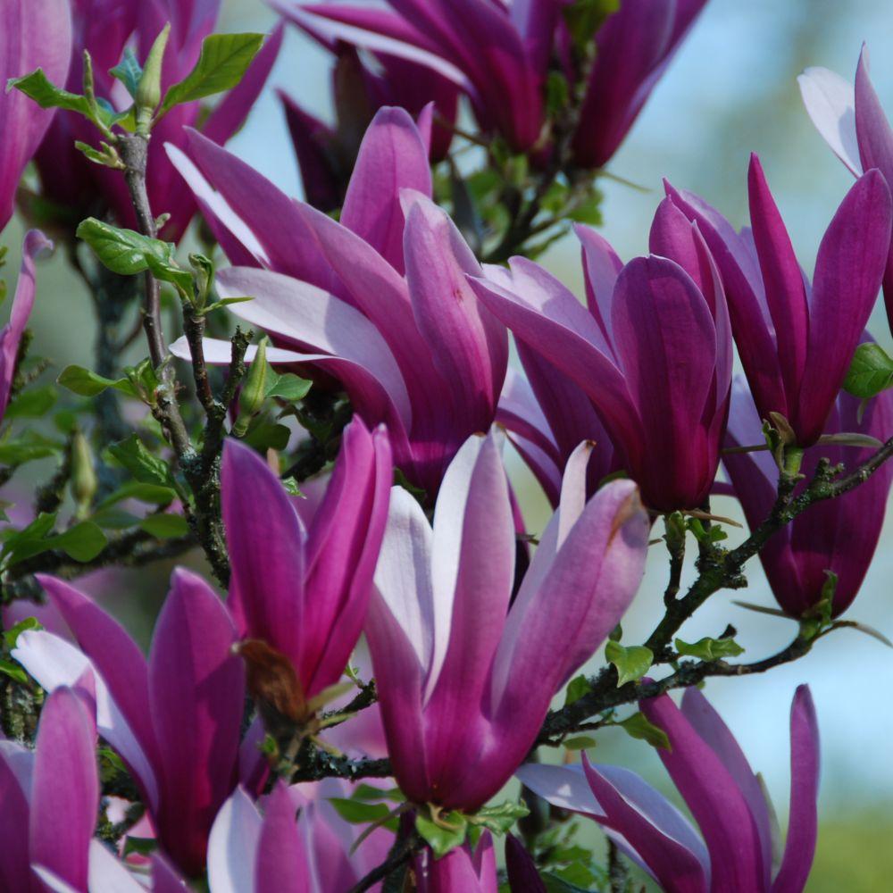 magnolia liliflora 39 nigra 39 plantes et jardins. Black Bedroom Furniture Sets. Home Design Ideas