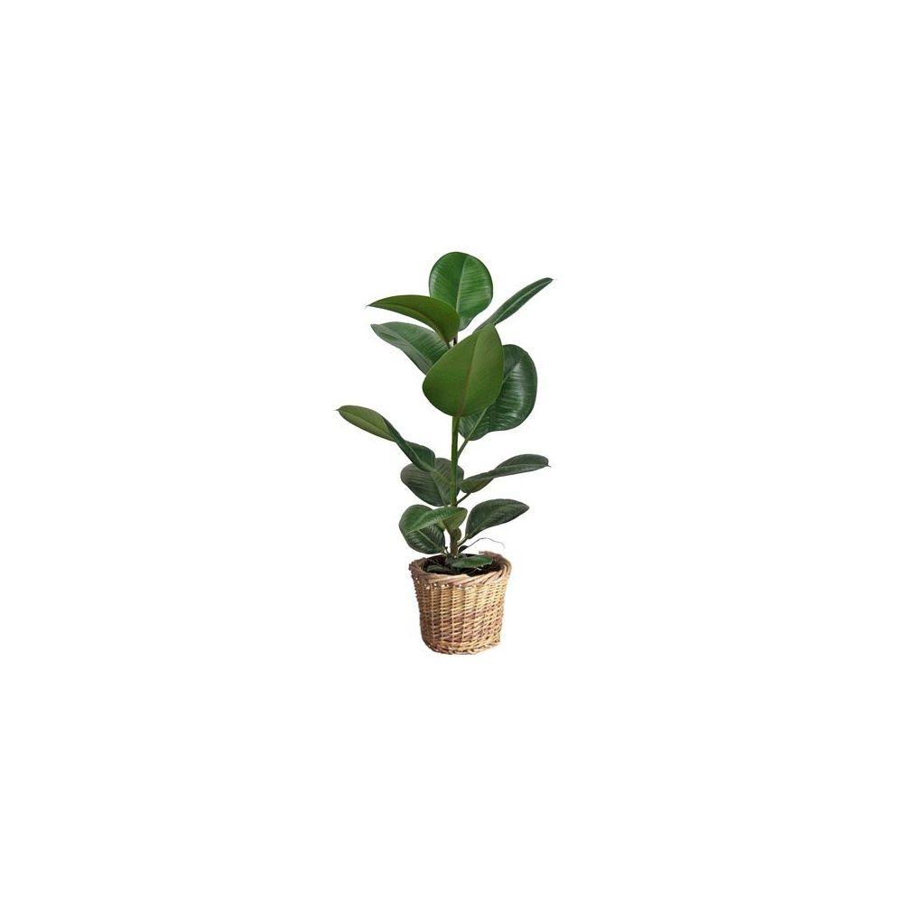 ficus caoutchouc hauteur 65 70cm cache pot tress plantes et jardins. Black Bedroom Furniture Sets. Home Design Ideas