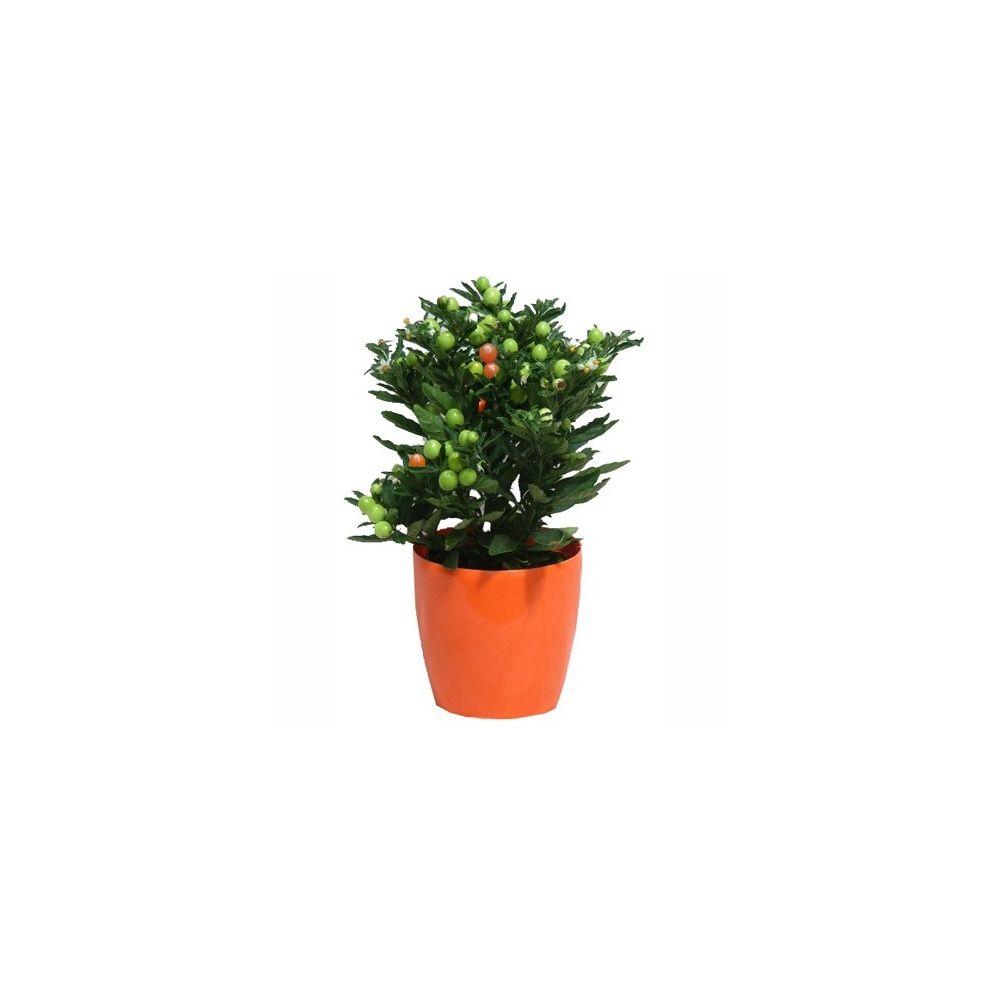 Pommier d 39 amour cache pot orange plantes et jardins - Pommier d amour entretien ...