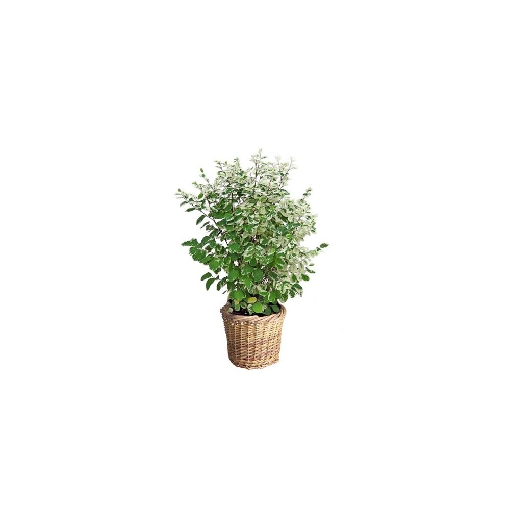 breynia nivosa cache pot plantes et jardins. Black Bedroom Furniture Sets. Home Design Ideas