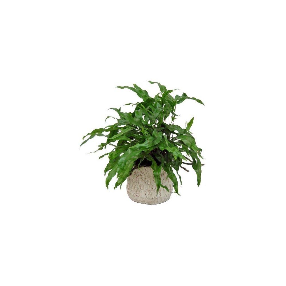 microsorum diversifolia cache pot c ramique plantes et jardins. Black Bedroom Furniture Sets. Home Design Ideas