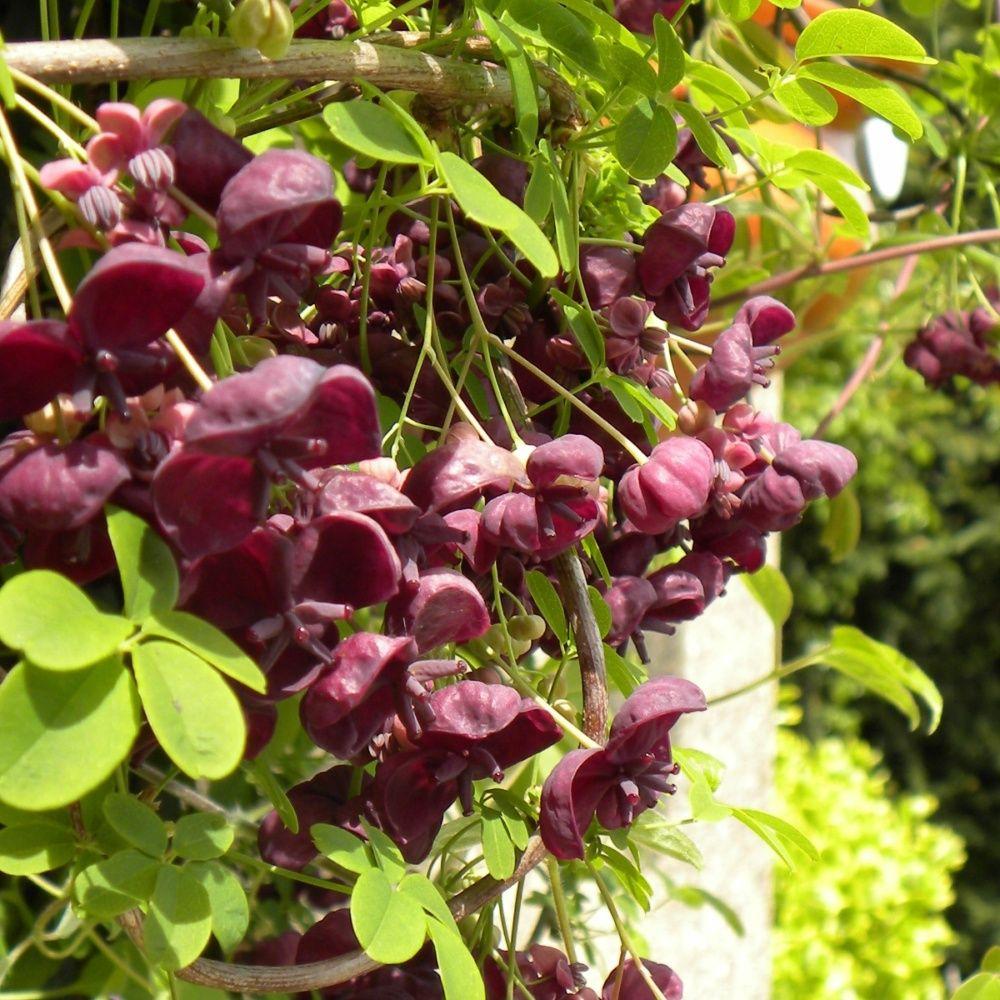 Akebia quinata plantes et jardins for Plantes et jardins