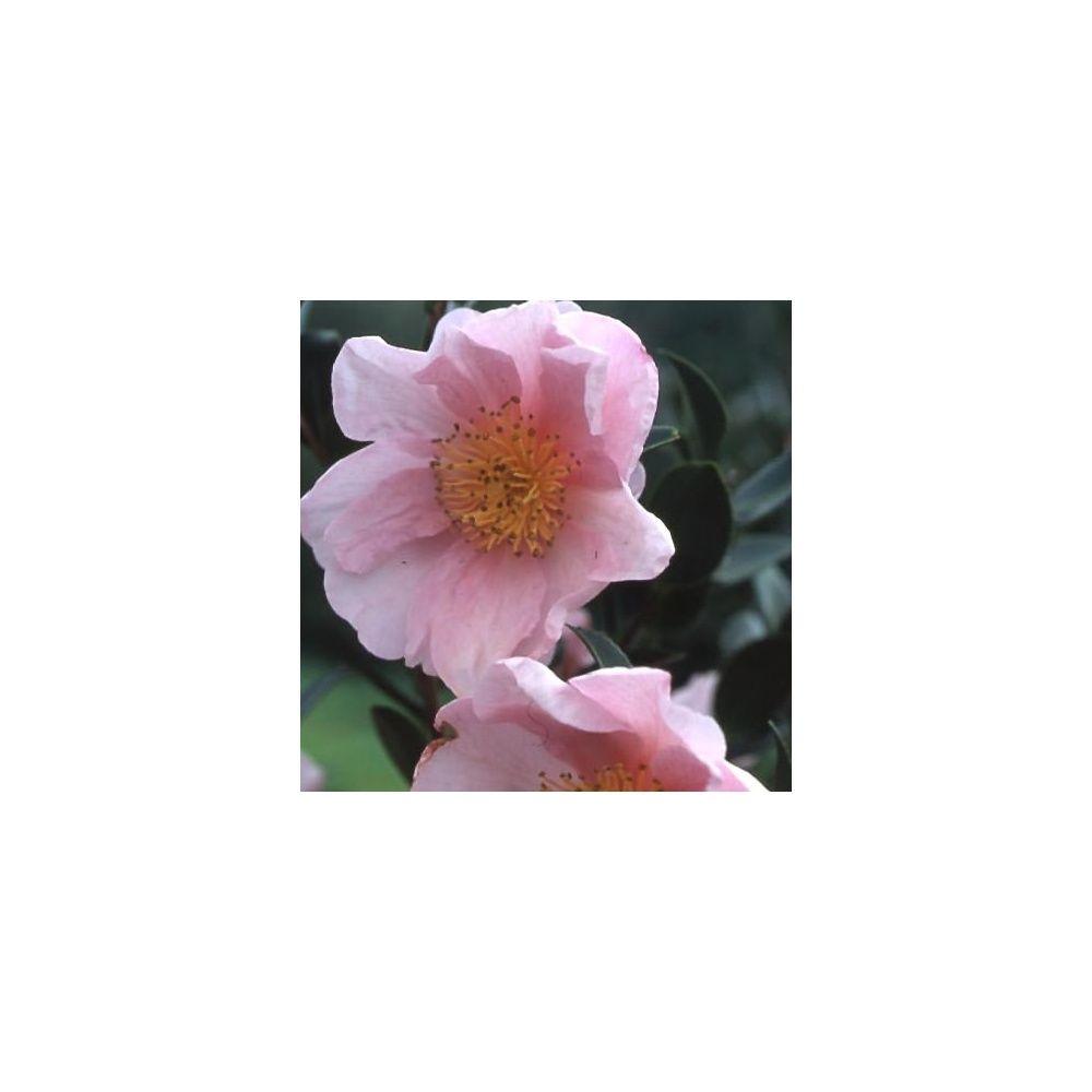 cam lia d 39 automne 39 pink goddess 39 plantes et jardins. Black Bedroom Furniture Sets. Home Design Ideas